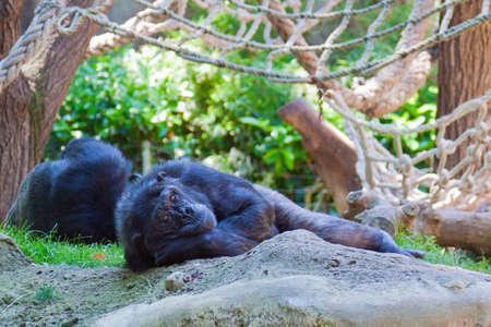 chimpanzee have a rest