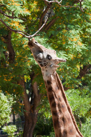 giraffe is hooking tree branch with tongue