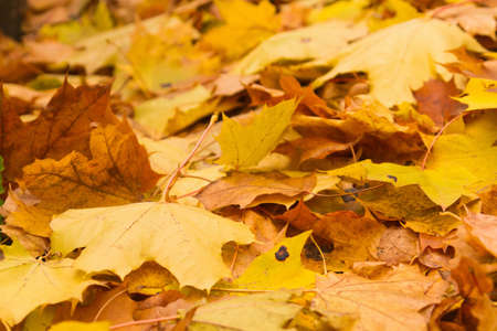 autumn maple leaves Standard-Bild