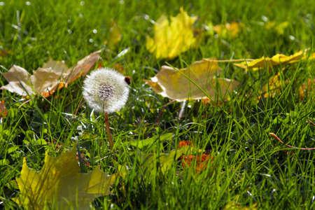 single dandelion in autumn maple leaves