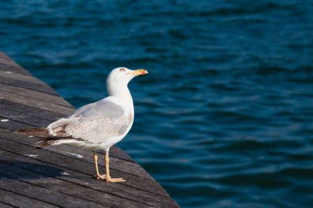 sea gull standing on the edge of wooden bridge Standard-Bild