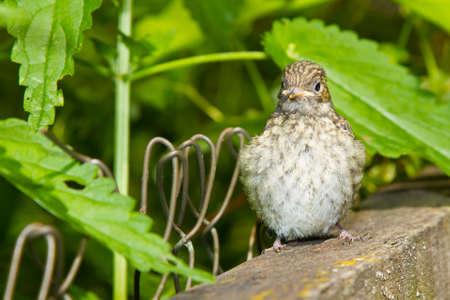 Baby bird of The European Pied Flycatcher Standard-Bild