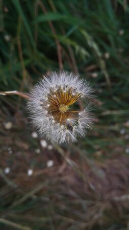 White dandelion on a lawn with fresh green spring grass, Natural background. Foto de archivo
