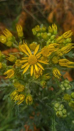 Jacobaea vulgaris flower blooming in spring. Green background. Banco de Imagens