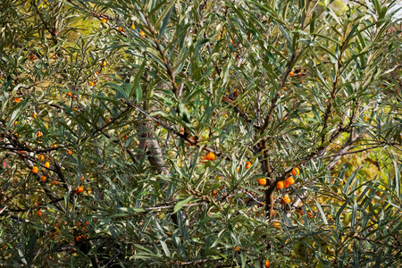 seabuckthorn: Ripe seabuckthorn berry at autumn time