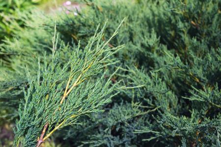 enebro: arbusto de enebro
