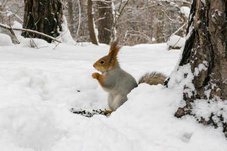 Squirrel eating nuts in winter forest 스톡 콘텐츠