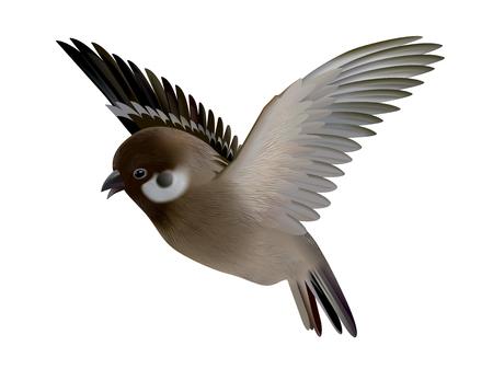 Sparrow bird illustration