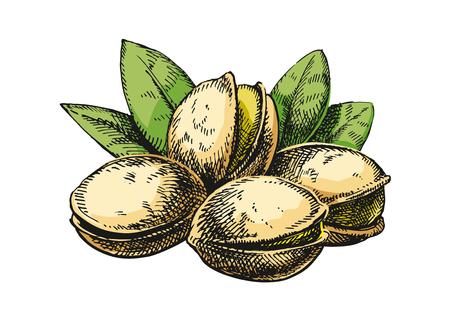 Pistachios sketch illustration. Version