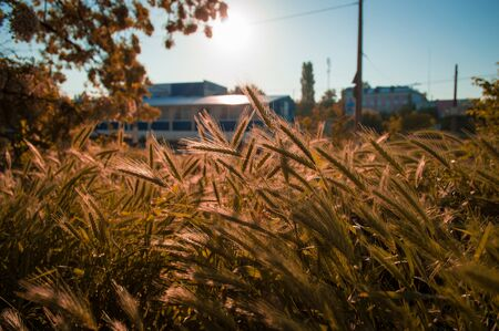 Field of yellowed spikelets of grass. Autumn grass in background of building with bokeh