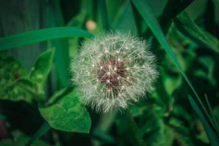 One fluffy white dandelion on background from green grass with bokeh