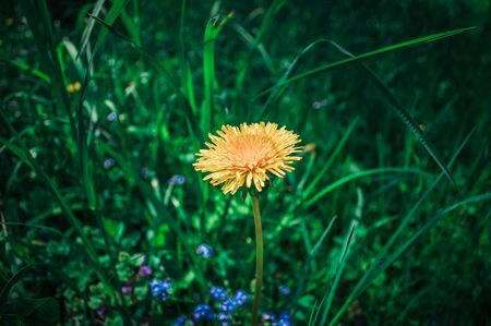 One yellow dandelion in center of photo in green grass. Flower on background from grass and other flowers with bokeh.