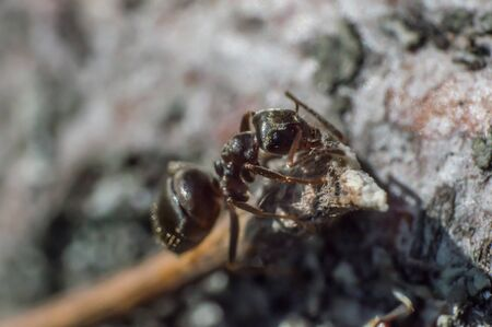 Brown ant in macro. Ant work near anthill. Head and black eye in focus.