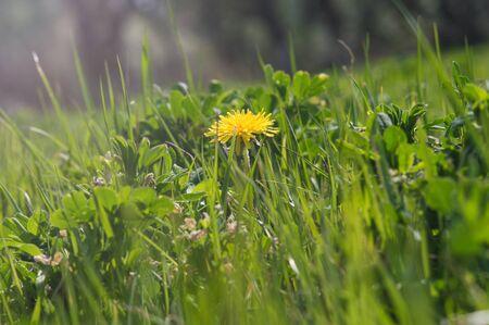 Yellow dandelions closeup in green grass. Spring photo of nature. Field of dandelions Archivio Fotografico