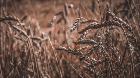 Spikelets of wheat in the field. Close-up photo with blurred background. Photo in red tone