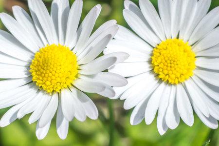 微距照片的小洋甘菊与白色的花瓣。模糊的背景