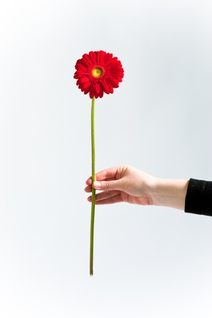 hands giving: Red chrysanthemum in womans hand Stock Photo