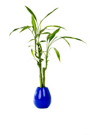 A green plant in a blue vase on an isolated background.