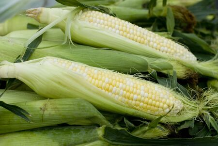 A group of beautiful corn with husk on it.