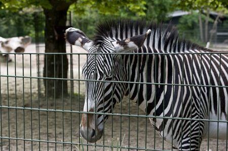 유럽 동물원에 얼룩말입니다. 스톡 콘텐츠