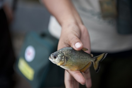 pygocentrus: Holding a peruvian yellow piranha in the Amazon in Puerto Maldonado.