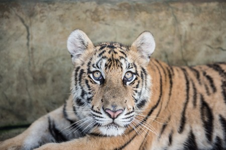 tiger eyes: A Tiger resting in its cage in the famous Tiger Kingdom of Chiang Mai province in northern Thailand. Here you can play and spend time with these wild cats for a little fee.