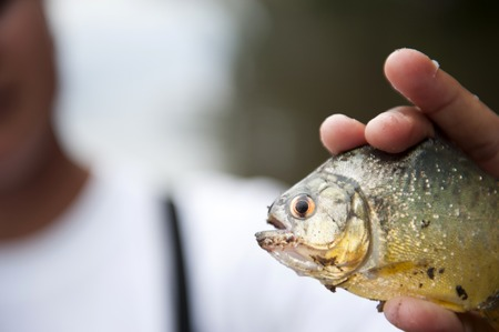 pirana: Holding a peruvian yellow piranha in the Amazon in Puerto Maldonado.
