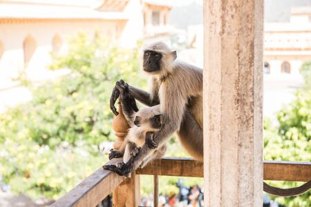 amber fort: A monkey with its baby in the lap sitting on the balcony of Amber Fort in Jaipur, Rajasthan. On the background, the fort complex and lush green trees are seen.