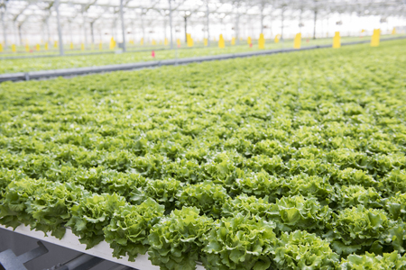 View of the hydroponics style of cultivation is seen at a farm. It is a subset of hydroculture where plants are grown using mineral solvent instead of soil. Cabbage and lettuce plants are seen being cultivated through hydroponics. Stock Photo