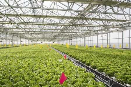 View of the hydroponics style of cultivation is seen at a farm. It is a subset of hydroculture where plants are grown using mineral solvent instead of soil. Cabbage and lettuce plants are seen being cultivated through hydroponics. Foto de archivo