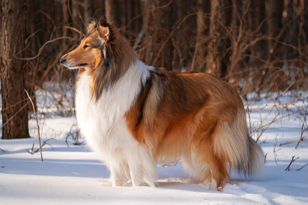 A rough collie standing in a snowy winter forest lit by soft sunset light. photo