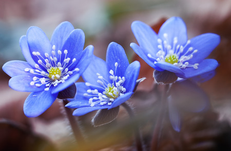 hepatica: First spring flowers blue hepatica or snowdrop in its natural background