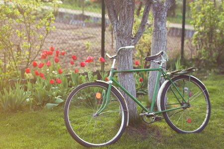 Old retro vintage bicycle in a garden parked on a lawn near a tree. Red tulips on a backround Stockfoto