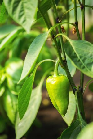 Fresh organic sweet pepper plant in greenhouse. Green paprika. Shallow depth of field