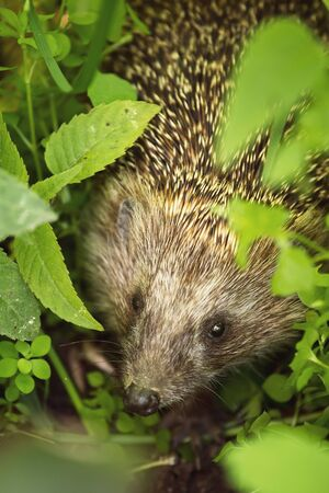 Wild hedgehog in green leaves. Shallow depth of field