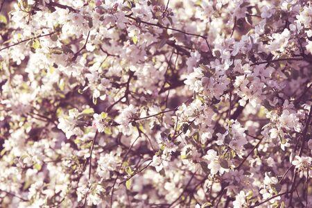 Spring season apple tree blossom flowers background