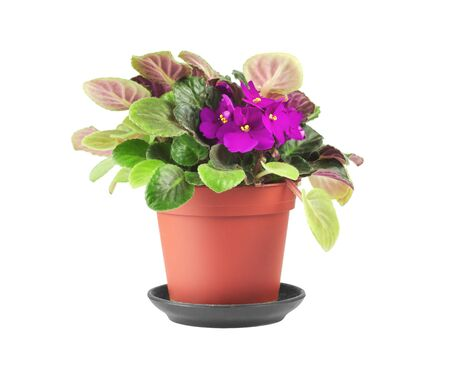 Violets in a flower pot isolated on white. Purple flowers for home decoration