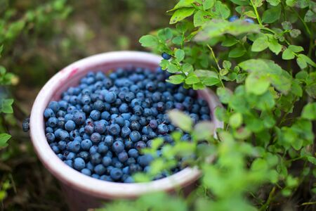Bucket full of blue berries in a forest near bilberry bush. Shallow depth of field