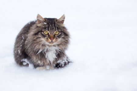 A beautiful freezing homeless cat covered in snow in winter