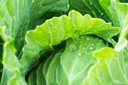Green ripe cabbage closeup with drops of water