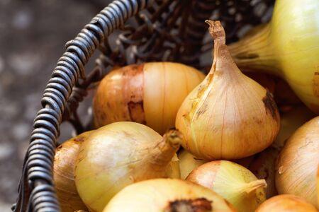 Farmers organic bulb onion in basket