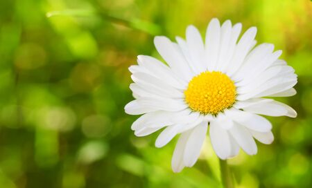 Bright warm summer photo of daisy or chamomile