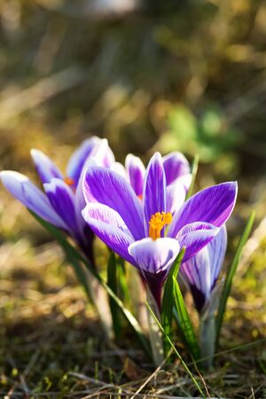 Blossoming crocus flowers or saffron in spring. Shallow depth of field