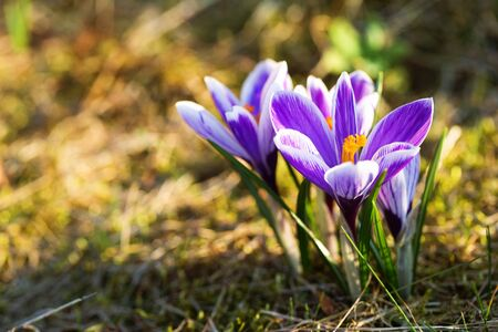 Beautiful colorful crocuses saffron flowers blooming in spring. Copy space. Shallow depth of field