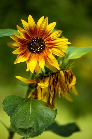 Colorful sunflower blooming in summer in a garden