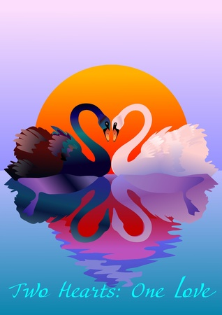 swans: Two graceful swans in love