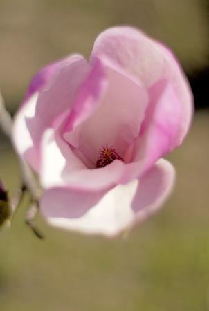 magnolia tree: magnolia tree blossom a beautiful spring flower