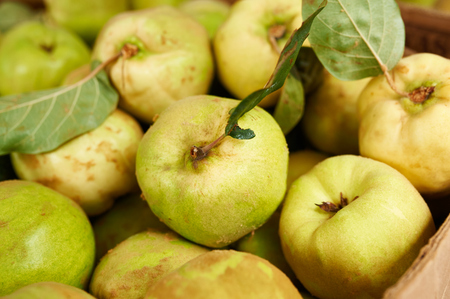 quinces: Large ripe quinces with green leaves