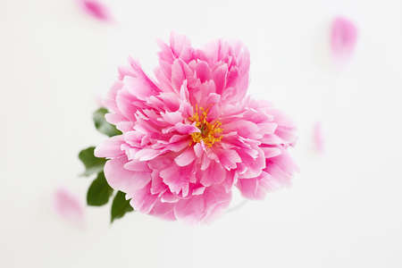Fresh peony flower. Beautiful Pink Flower still life. color Background