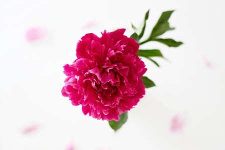 Red peony flower. Beautiful Flower still life. Decoration 免版税图像